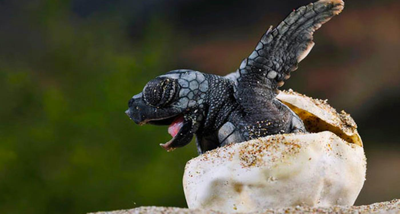 A Baby Sea Turtle Hatching From An Egg