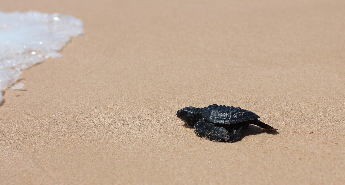 Baby Sea Turtle Released to the Sea